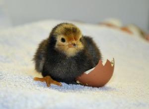 chicks-490957_1920